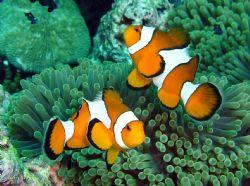 2 playfull clownfish ..... Surin Island, close to Burma w... by Henrik Gram Rasmussen