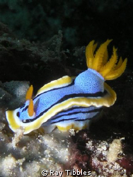 Chromodoris annae taken with an Olympus 5050 in a standar... by Ray Tibbles