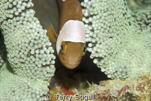 She is under the rather large anemone just hanging out.  ... by Terry Stigall