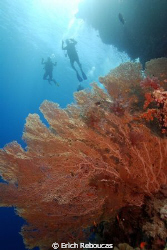 Giant Gorgonian and divers on the back. Shark Observatory... by Erich Reboucas