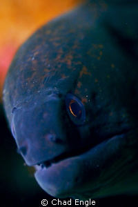 Curious moray eel. Shot with a Canon 5D, Sigma EX Macro l... by Chad Engle