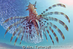 Hunting lionfish by Alex Tattersall