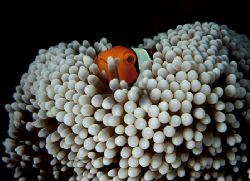 'Nestled clown'