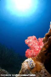 Nudibranch next to Soft Coral at Moray Beach in Nha Trang... by Caroline Istas