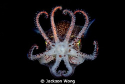 Bobtail squid swim in mid-water during a night dive in Tu... by Jackson Wong