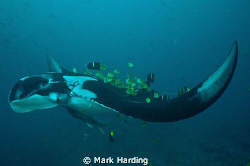 Manta Ray at cleaning station with butterfly and king ang... by Mark Harding