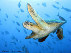 Seaturtle in Galapagos by Lowrey Holthaus