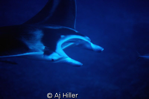 Giant manta; Nikon D2X with 105mm micro-Nikkor, two Inon ... by Aj Hiller