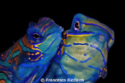 Mating mandarinfish by Francesco Ricciardi