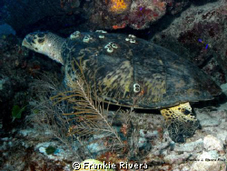 Hawksbill Sea Turtle at Mona Island by Frankie Rivera