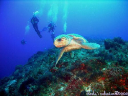 We usually don't see Loggerhead sea turtles in Coz, so th... by Marc Volkman