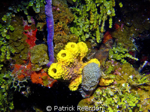 Colorful, healthy sponges in Grand Cayman. by Patrick Reardon