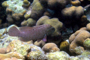 Found this beautiful graysby in Secret Harbor, US Virgin ... by Bj Arnold