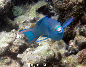The parrotfish I swim with at Secret Harbor are so used t... by Bj Arnold