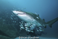 Grey Nurse Shark by Brian Slaughter