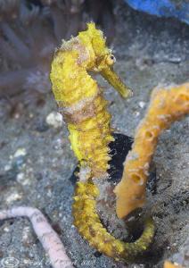 Seahorse. Lembeh straits. D200, 60mm. by Derek Haslam