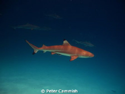 The image is a black tip reef shark I took in Palau. by Peter Cammish