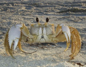Ghost crab on the beach at Mexico Beach, Florida. by Carol Cox