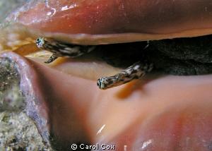 Conch Eyes by Carol Cox
