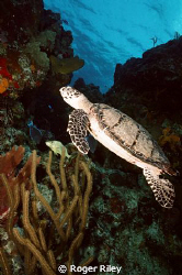 One of the many turtles in the waters around Cozumel.  Ta... by Roger Riley