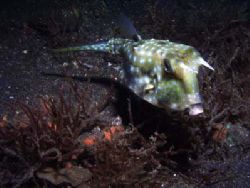 During a night dive in Lembeh Straits I came upon this co... by Erika Antoniazzo