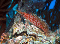 Longnose Hawkfish posing on a clamshell at 22 meters by Sabine Frank