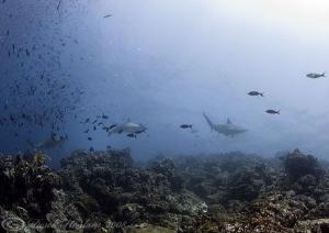 Hamerheads. Galapagos. D200, 10.5mm. by Derek Haslam