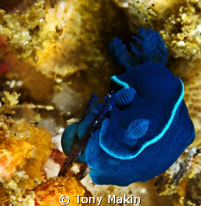 Splat! Tiny Black nudibranch Tambja capensis by Tony Makin