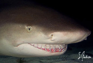 This image was taken during a night dive with Lemon Shark... by Steven Anderson