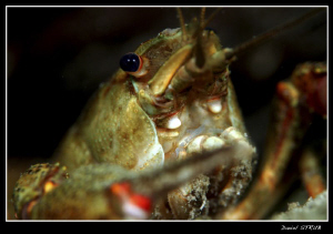 Noble Crayfish - Duzillet, yesterdays dive with buddy Sve... by Daniel Strub