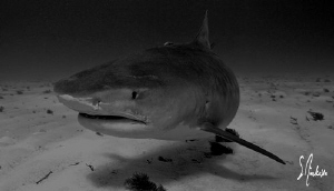 This image was taken at Tiger Beach. The Tiger Shark was ... by Steven Anderson