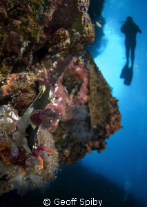 nudibranch in the forground and my wife higher up the wal... by Geoff Spiby