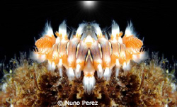 This is an Hermodice carunculata. Taken in ( S.Miguel - ... by Nuno Perez
