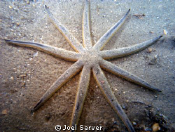 9 Armed Sea Star-Rare find in Riviera Beach, FL at the Bl... by Joel Sarver
