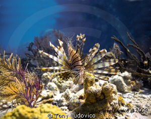 Lionfish by Tony Ludovico