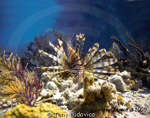 Lionfish by Tony Ludovico