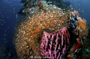 A school of fish surround a sponge in Raja Ampat by Andy Lerner