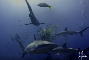 This image is of Reef Sharks enjoying the free fish as we... by Steven Anderson