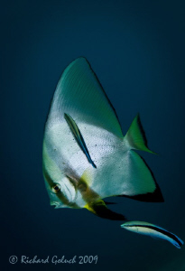 Batfish and Cleaner Wrasse-Raja Ampat by Richard Goluch