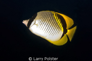 Butterfly fish of every species in these waters by Larry Polster