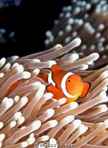 Anenomefish taken in the Coral Sea. Nikon D300 in sea & s... by Melissa Fiene