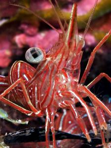 """Durban hinge-beak prawn""  Found in the El quadim Bay, ... by Henry Jager"