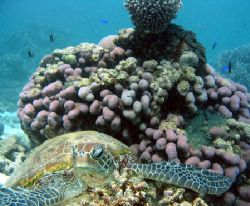 """Hawkesbill Turtle"", Ningaloo Reef by Penny Murphy"