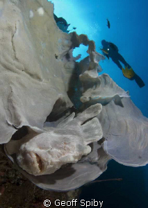 frogfish hiding in a sponge on the wall, Balicasag Island... by Geoff Spiby