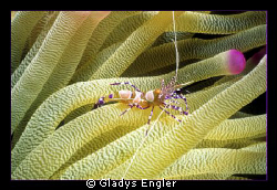 Shot this little shrimp in a pink tipped anemone in Bonai... by Gladys Engler