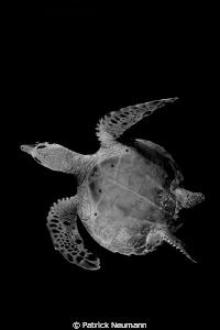 miss turtle b&w by Patrick Neumann