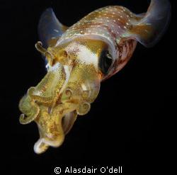 Squid by Alasdair O'dell