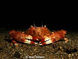 Photographed this little fella whilst on a night dive in ... by Brad Waters