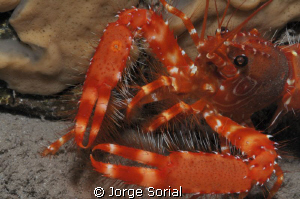 Canarian crayfish, an endangered species. Red is beautiful! by Jorge Sorial