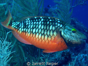 Stoplight Parrotfish in its initial stage. Canon SD 750 w... by Jarrett Regier